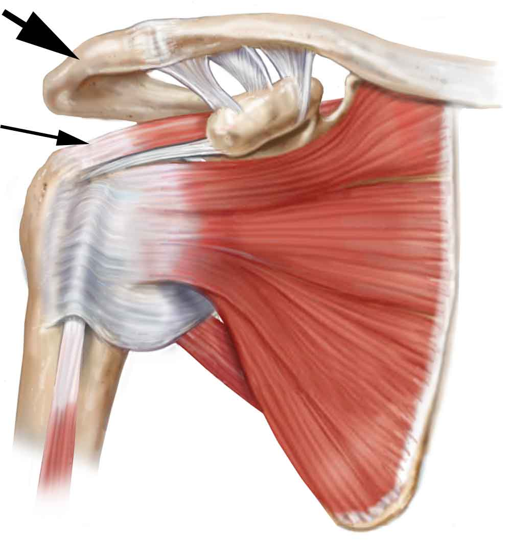 Shoulder rotator cuff anatomy